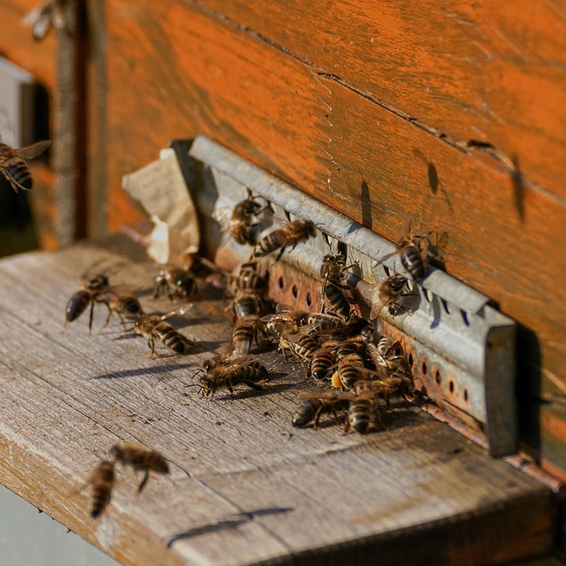 bee-colonies-4027054_960_720_resize