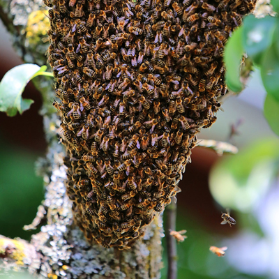 08_abeille-essaim_400